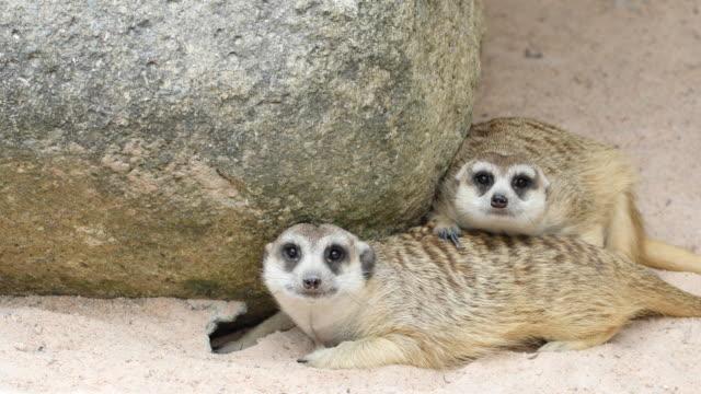 meerkat, 4k(uhd) - meerkat stock videos & royalty-free footage