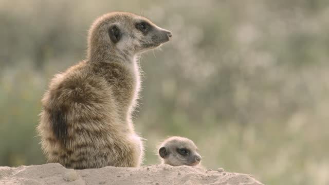 stockvideo's en b-roll-footage met meerkat (suricata suricatta) and baby sit on burrow, south africa - dierenhol