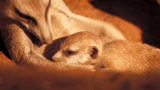 A meerkat and pup snuggle in a burrow. Available in HD.