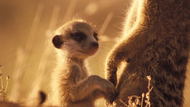 meerkat and pup standing alert available in hd. - young animal video stock e b–roll