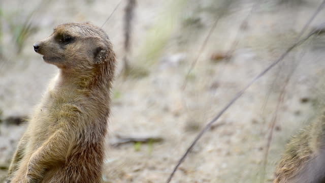 meerkat animal in wildlife sanctuary - conspiracy stock videos and b-roll footage
