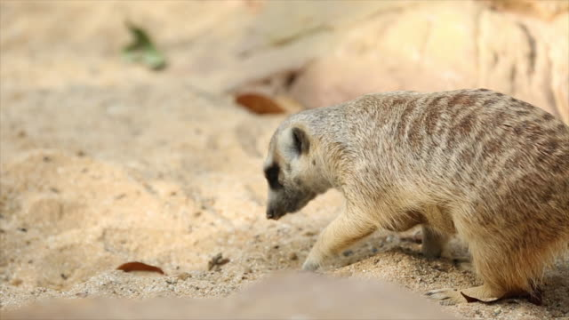 meerkat animal. - zoo stock videos & royalty-free footage