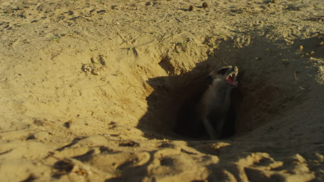 meerkat calls aggressively from mouth of burrow - animal call stock videos & royalty-free footage