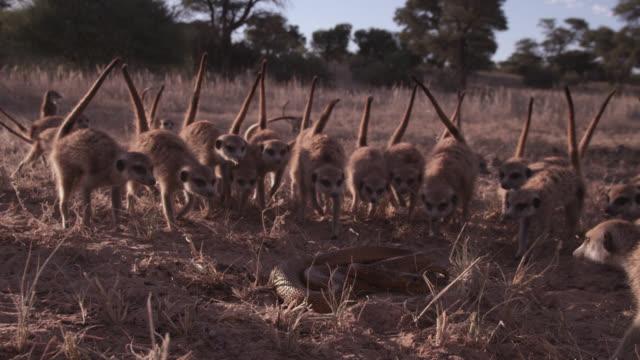 meerkat (suricata suricatta) clan surrounds cobra (naja nivea) in desert, south africa - schlange kriechtier stock-videos und b-roll-filmmaterial