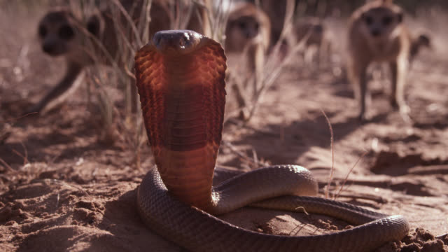 meerkat (suricata suricatta) clan surrounds cobra (naja nivea) in desert, south africa - snake stock videos and b-roll footage