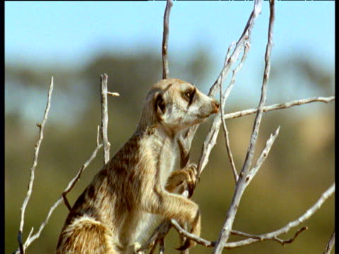 meerkat climbs into bush to act as vigil for the group, kalahari - perching stock videos & royalty-free footage