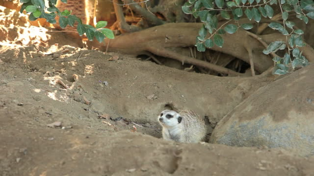 Meerkat Den