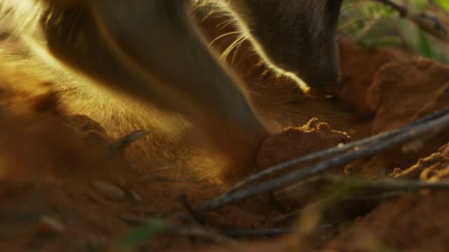 ecu meerkat digging for ants in sand - digging stock videos & royalty-free footage