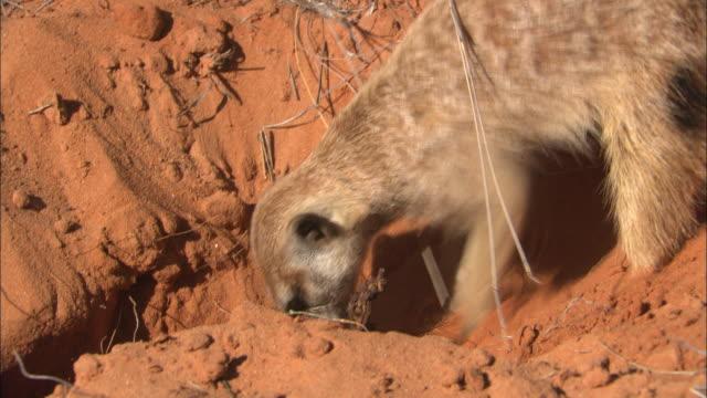 MS, Meerkat digging in ground, South Africa