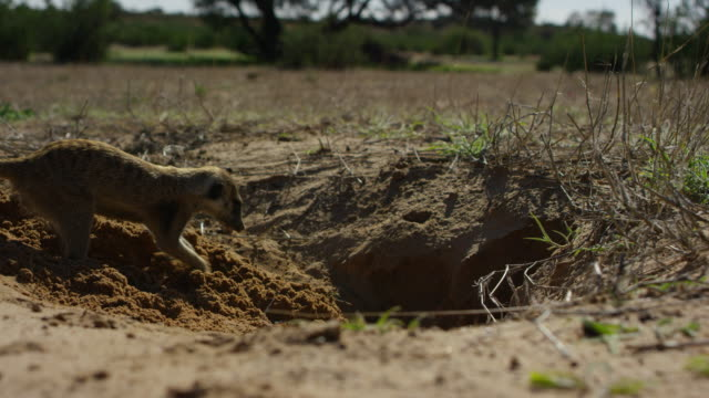 ms meerkat digs in profile at burrow close to camera as second meerkat emerges in foreground - emergence stock videos & royalty-free footage