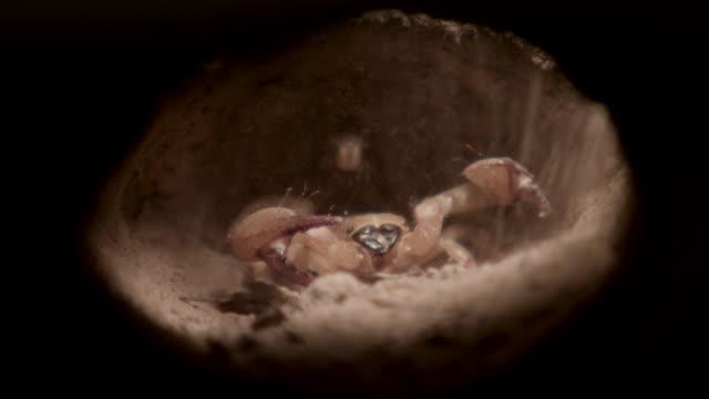 Meerkat (Suricata suricatta) digs into scorpion burrow in desert, South Africa