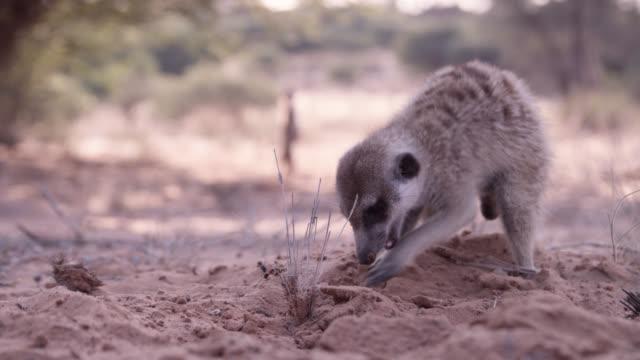 meerkat (suricata suricatta) eats ants in desert, south africa - ant stock videos and b-roll footage