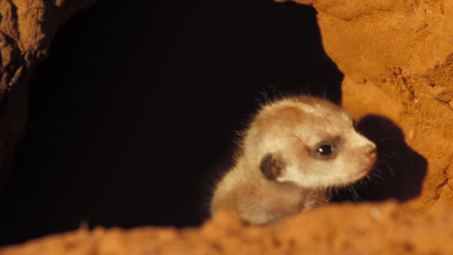 A meerkat emerges from a shadowy burrow into the sun. Available in HD.