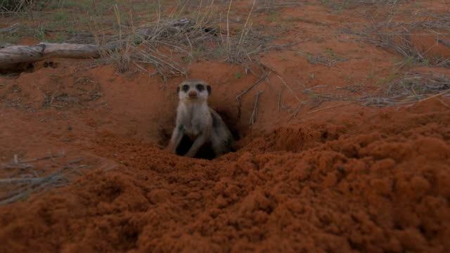 vidéos et rushes de meerkat emerges from burrow and looks into lens then others emerge - terrier création animale