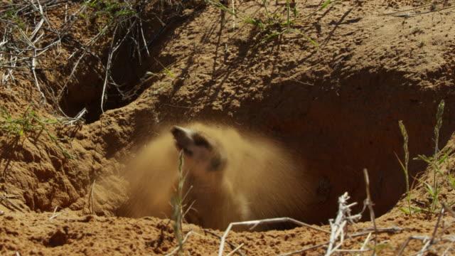 vídeos de stock e filmes b-roll de ms meerkat emerges from burrow and shakes off sand - criação animal