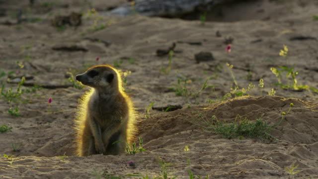 ms meerkat emerges from burrow at dawn backlit - auftauchen stock-videos und b-roll-filmmaterial