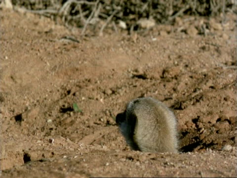 Meerkat (Suricata suricatta) emerges from burrow, watches MS, Namaqualand, South Africa