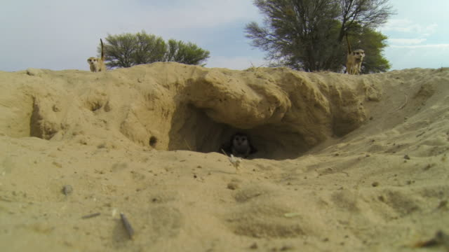 meerkat emerges to mouth of nesting burrow as 2 more meerkats arrive and charge at it one wearing radio collar - digging stock videos & royalty-free footage