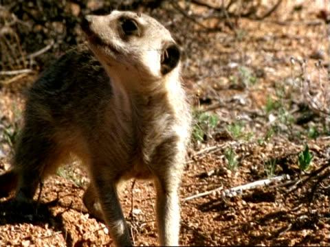 vídeos y material grabado en eventos de stock de meerkat (suricata suricatta) excavates and eats a scorpion, namaqualand, south africa - animales cazando