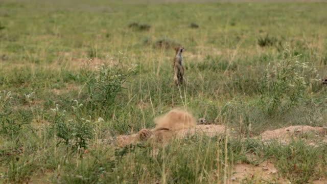 stockvideo's en b-roll-footage met meerkat family digging and foraging, kgalagadi transfrontier park, south africa - foerageren