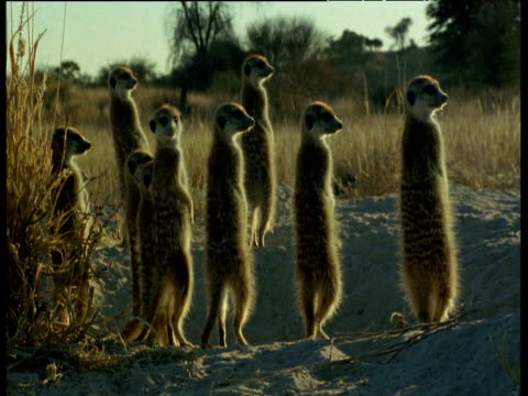 Meerkat family stand guard by nest hole
