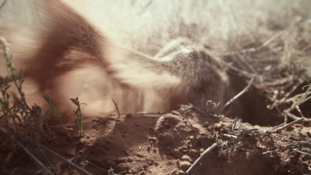 meerkat (suricata suricatta) forages and digs in desert, south africa - höhle stock-videos und b-roll-filmmaterial