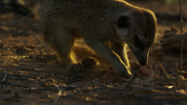 ms pan meerkat foraging and digging in evening light - foraging stock videos & royalty-free footage