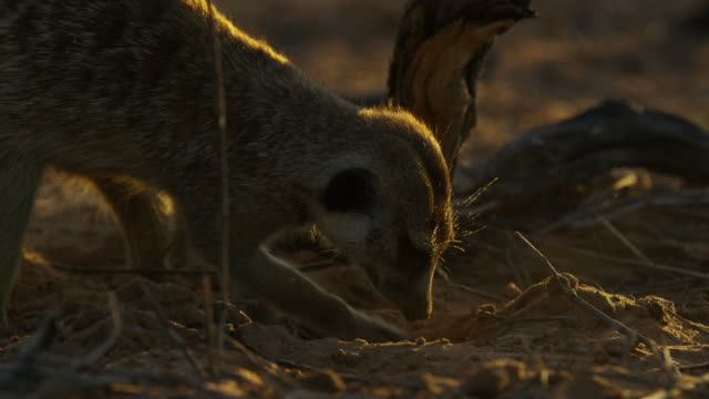 cu pan meerkat foraging and digging in evening light - foraging stock videos & royalty-free footage