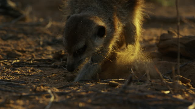 ms meerkat foraging and digging towards camera in evening light - foraging stock videos & royalty-free footage