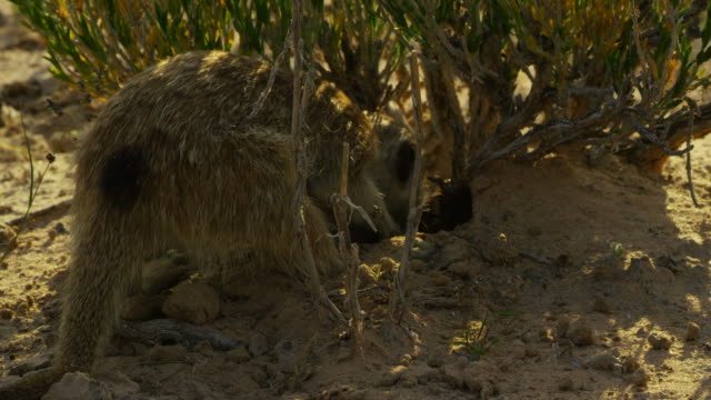 ms meerkat foraging at base of bush very close to camera - foraging stock videos & royalty-free footage