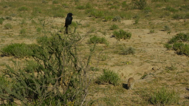 meerkat foraging below fork-tailed drongo perched in bush - foraging stock videos & royalty-free footage