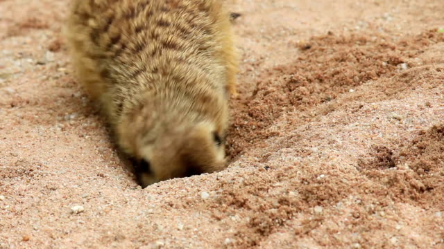 meerkat foraging in ground - foraging stock videos and b-roll footage