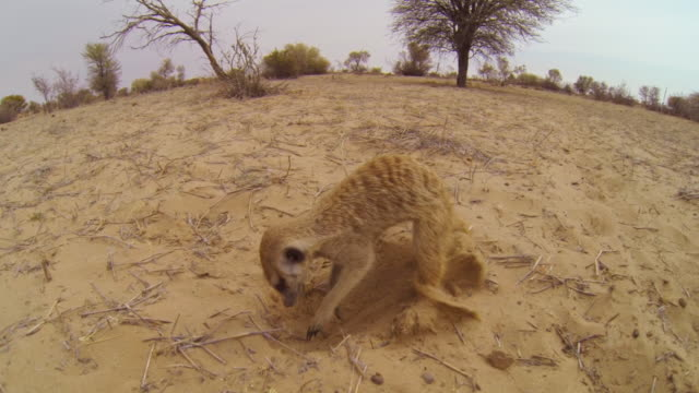 ha meerkat foraging  very close to camera then walks away - foraging stock videos & royalty-free footage