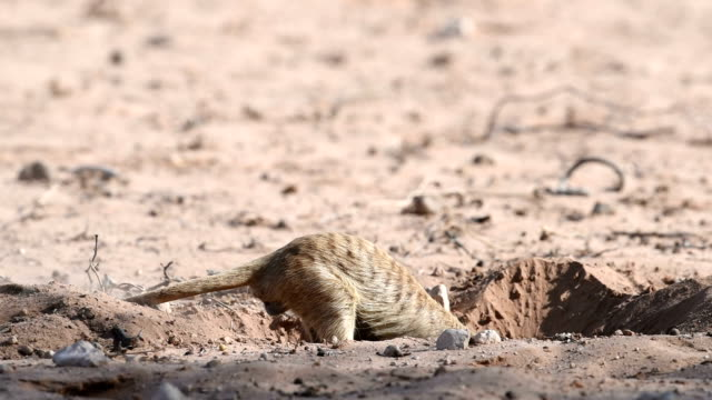 meerkat foraging - 50 seconds or greater stock videos & royalty-free footage