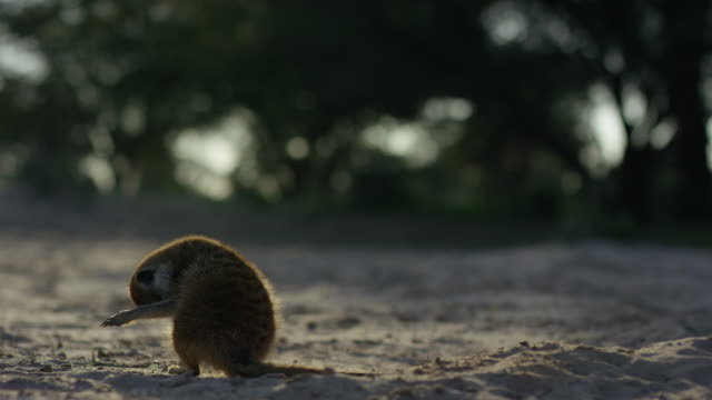 vidéos et rushes de meerkat grooming at burrow in dawn light as juvenile emerges and greets - terrier création animale
