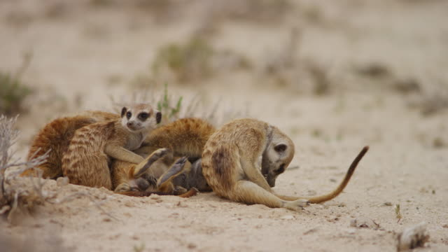 stockvideo's en b-roll-footage met meerkat group lying on sand and grooming - dierenverzorging