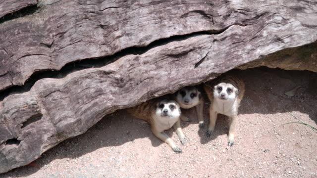 meerkat is under the timber - meerkat stock videos & royalty-free footage