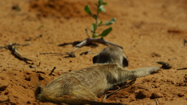 ms meerkat lies prone in sand then moves off - auf dem bauch liegen stock-videos und b-roll-filmmaterial
