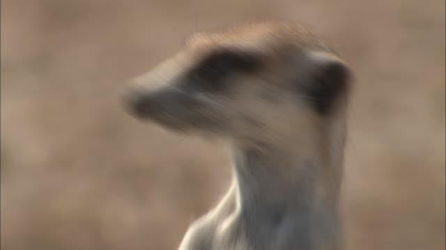cu, meerkat looking around, headshot, south africa - morrhår bildbanksvideor och videomaterial från bakom kulisserna