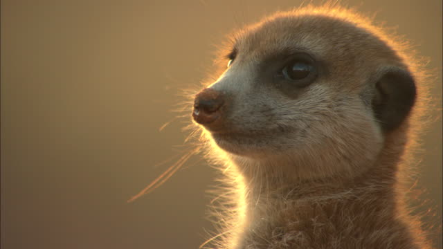 cu, meerkat looking around, headshot, south africa - guarding stock videos & royalty-free footage