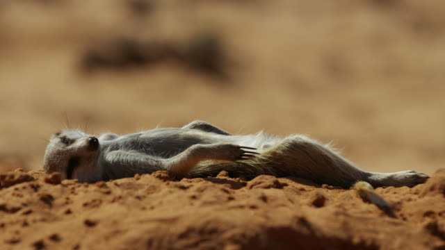vidéos et rushes de ms meerkat lying flat out sunbathing on sand - un seul animal