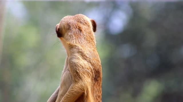 meerkat observe close-up - meerkat stock videos & royalty-free footage
