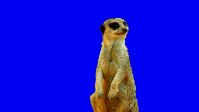 meerkat on blue screen - animal themes stock videos & royalty-free footage