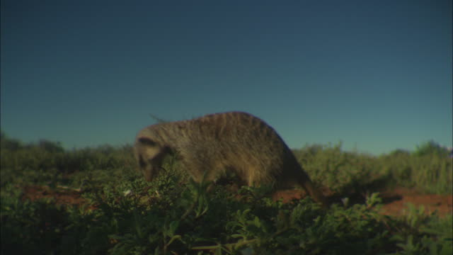 CU, SHAKY, Meerkat picking up and eating scorpion off ground in desert, South Africa