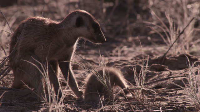Meerkat (Suricata suricatta) presents scorpion prey to baby, South Africa