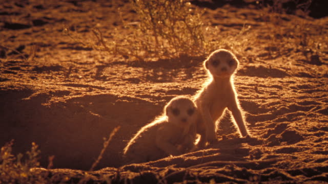 A meerkat pup creeps to the entrance of its burrow. Available in HD.