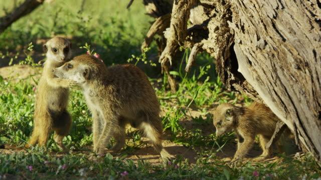 vídeos y material grabado en eventos de stock de meerkat pup cuddles adult then chews its nose comically - grupo pequeño de animales