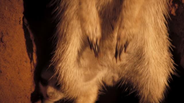 vídeos y material grabado en eventos de stock de a meerkat pup emerges from behind adult in a burrow. available in hd. - desierto del kalahari