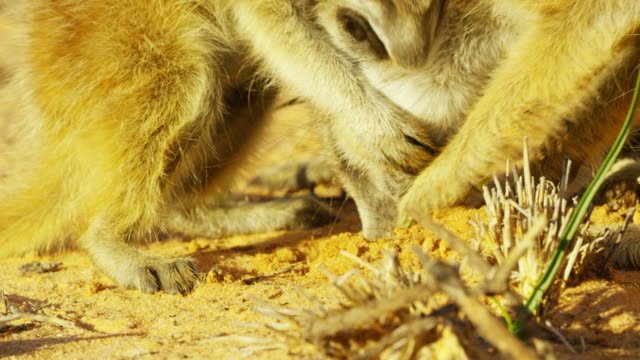 cu meerkat pup holding second pup then digging in sand - small group of animals stock videos & royalty-free footage