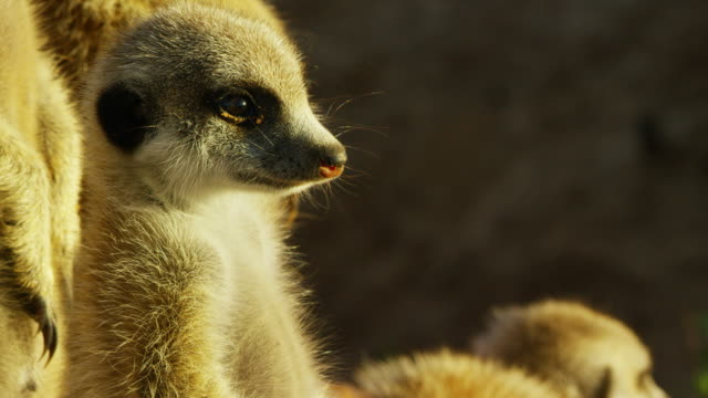 cu tu meerkat pup standing up very close to camera - vier tiere stock-videos und b-roll-filmmaterial